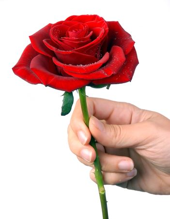 Hand holding a red rose, with droplets, isolated over white backdrop photo