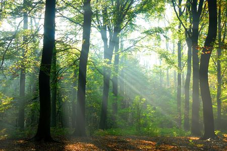 enticing: sunbeams pour into the autumn forest creating a mystical ambiance