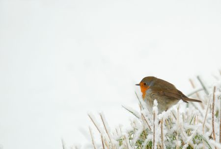 birdlife: Robin in frozen grass, isolated over white
