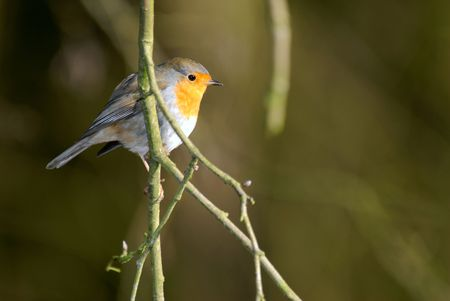 birdlife: Robin on a twig in a green environment