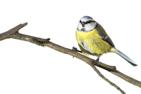 Blue tit on twig isolated over white photo