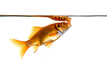 gasping: Goldfish gasping for air, isolated over white