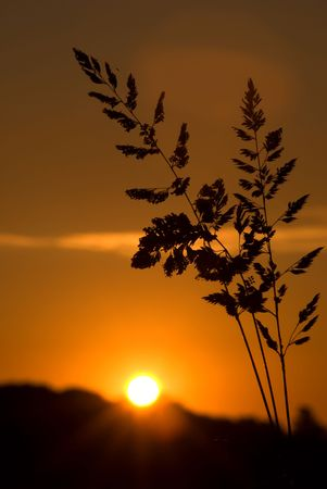 sunset with silhouette of wheat in the foreground Stock Photo - 3646747