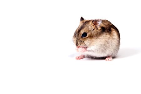 dwarf hamster: dwarf hamster isolated over white
