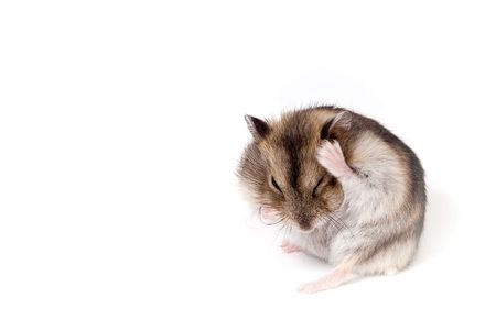 dwarf hamster isolated over white photo