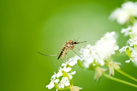 Mosquito on flower over natural green