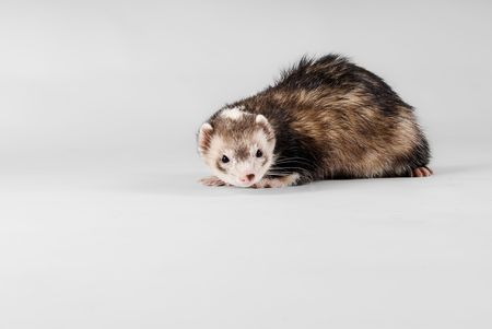 chordates: Pet ferret isolated over white background
