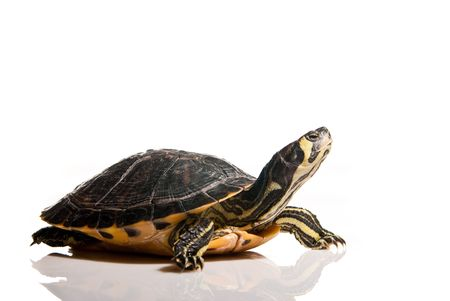turtle isolated over white with copy space photo