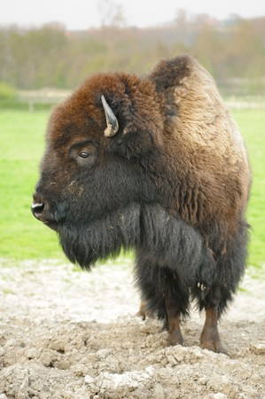 bison: American buffalo in a field Stock Photo