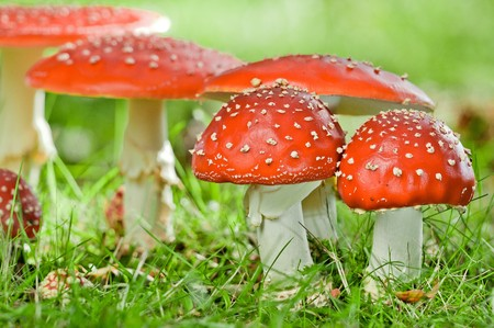 group of fly agaric in grassland photo