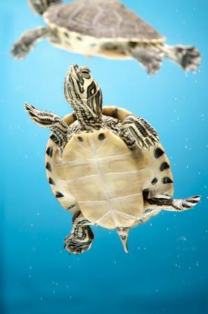 tortuga: una tortuga de agua mascotas sobre el tel�n de fondo azul