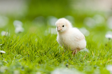baby chick: Easter chick in the garden with daisies