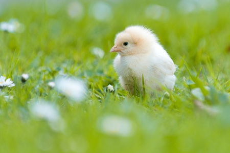 Easter chick in the garden with daisies