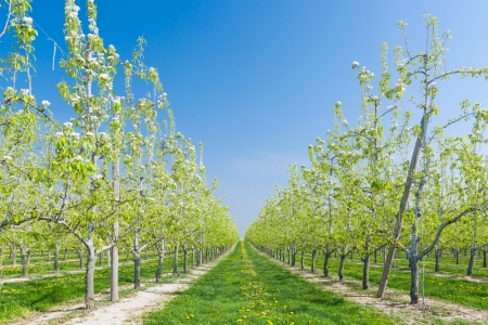 rij van bloeiende fruitboomgaard Stockfoto