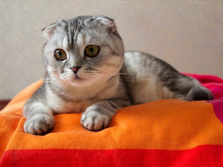 coverlet: Single striped cat lying on colored coverlet Stock Photo