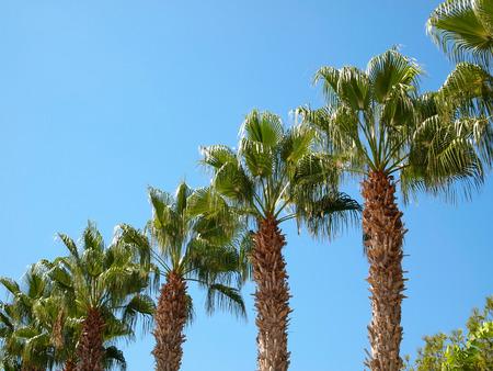 estado del tiempo: Las palmeras ubicadas en diagonal contra el cielo azul Foto de archivo