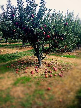How about them apples Фото со стока
