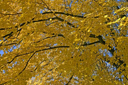 Yellow leaves on a tree. Stock Photo - 3178837