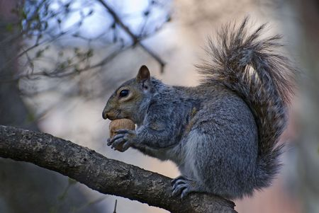 Squirrel and walnut Stock Photo - 3178828