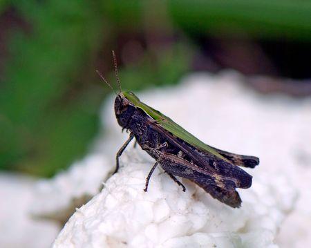 Grasshopper on white stuff Zdjęcie Seryjne
