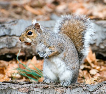 Squirrel looking where to hide a nut. Stock Photo - 3178826