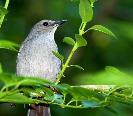tend: Catbird sitting on a branch