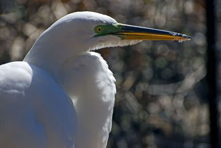 egret closeup. Stock Photo