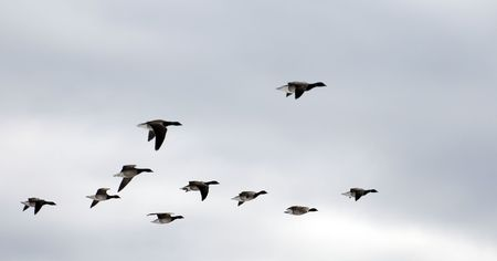 southward: covey of geese in blue sky fly southward