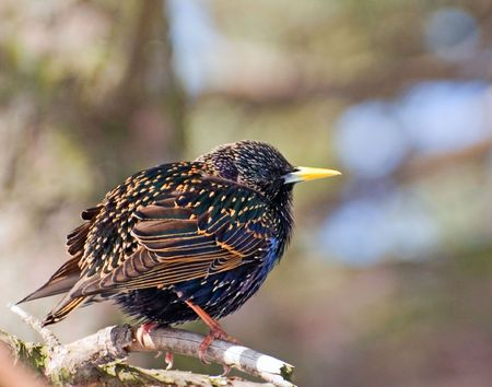 A starling sitting on a branch preparing to fly up Stock Photo