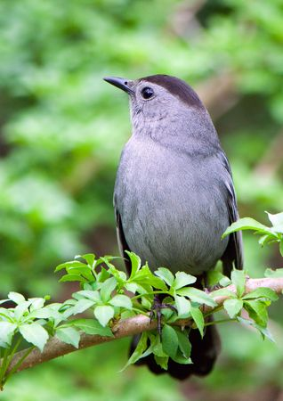 dumetella: a catbird on a green branch rests after a labour day