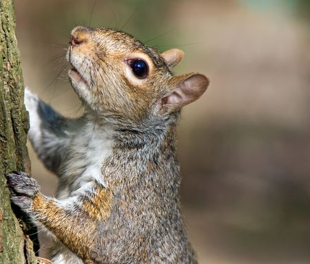 portrait of American Squirrel climbing on a tree Stock Photo