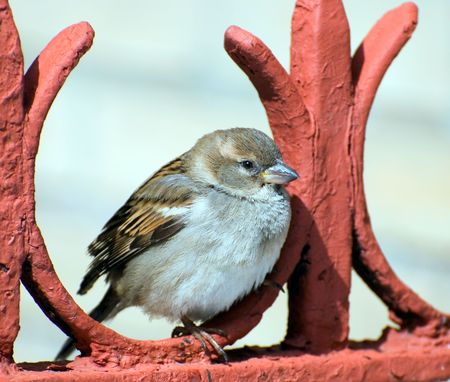 a glorious sparrow sits thoughtful on red fence Stock Photo