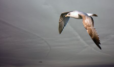 flying gull on a background gloomy sky