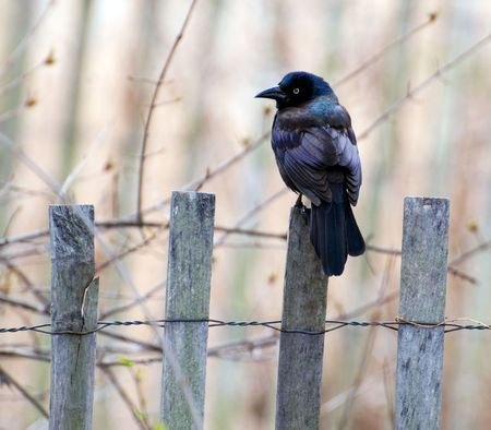 Grackle sits on a wooden fence ready to fly up at any danger