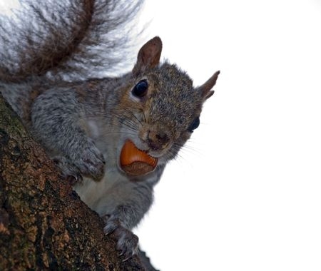 Squirrel on a tree with a nut in the mouth looks at photographer hoping to get another nut