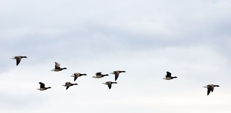 geese on grey-blue autumn sky going to fly away in warm edges photo
