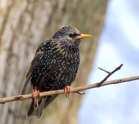 starling rests on the branch of tree next to his nest Stock Photo - 3227423