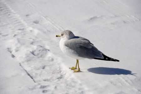 snowlandscape: gull on cold white snow thoughtful about a spring