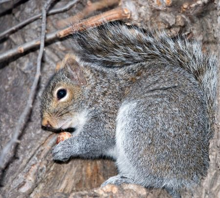 maybe: squirrel on tree studies a hazel-nut maybe it needs to be buried