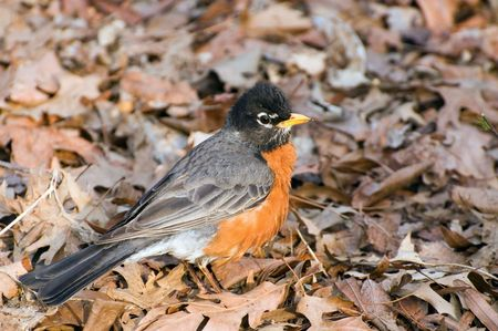 robin searches for worms under falling off leaves Stock Photo - 3239569