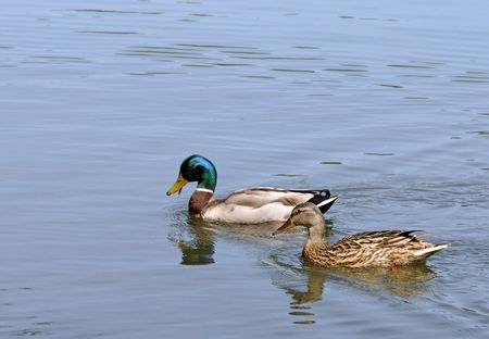 pair of ducks on a lake swim in search of meal