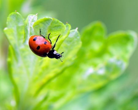 a ladybird sits upwards paws on the lower side of leaf Stock Photo - 3252936