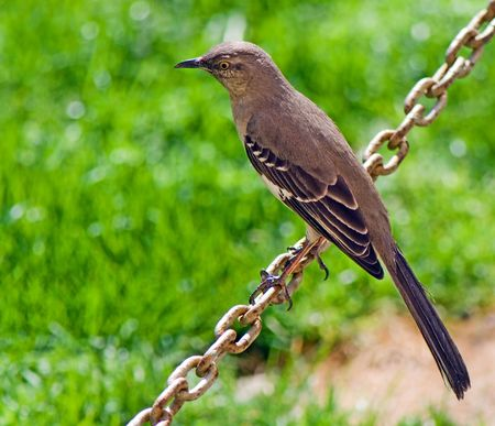 portrait of birdie sitting on a chain on a green background
