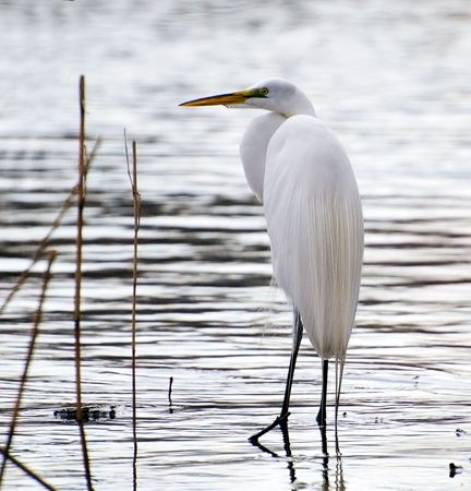 great white egret fishes on a lake