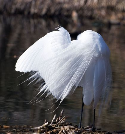great white egret fishes on a lake and cleans plumelets during fishing Stock Photo - 3256884