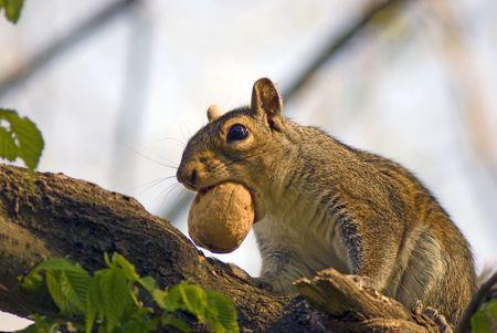 climbed: squirrel found walnut and climbed on tree