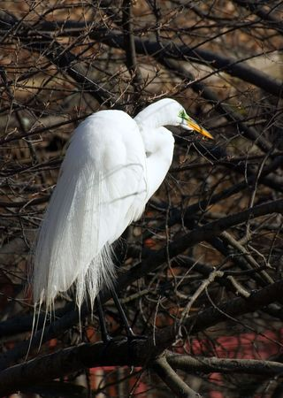 great white egret stands on branch above  lake and looks out for fish Stock Photo - 3259749