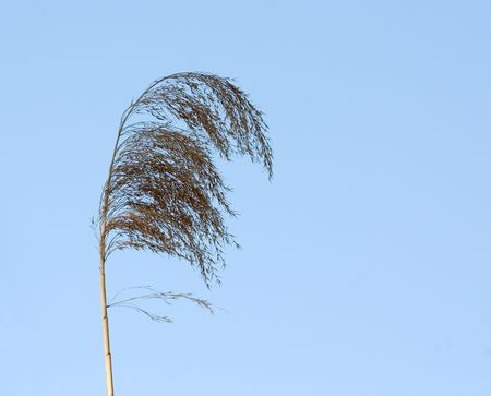 panicle of grass on a background blue sky Stock Photo - 3259744