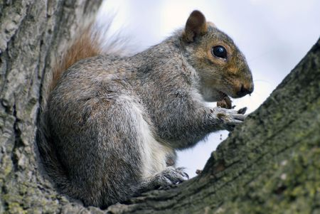 squirrel comfortably settled down in the fork of tree and cleans a nut