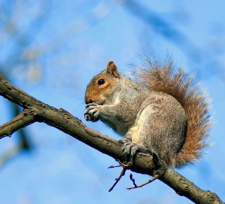 squirrel on the branch of tree on a background blue sky holds nut in paws Stock Photo